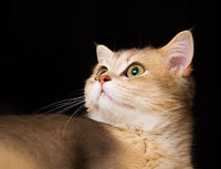 A British Blue Golden Shaided Kitten