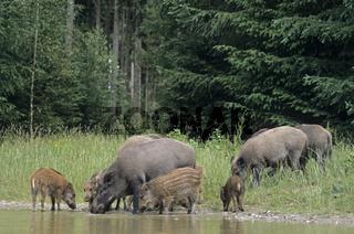 Bachen  Frischlinge stehen in einem Weiher  trinken Wasser - (Schwarzwild - Wildschwein) / Wild sows  piglets standing in a forest pond  drinking water - (Wild Hog - Wild Boar) / Sus scrofa