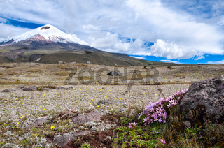 Cotopaxi volcano over the plateau, covered with flowering crocuses. Andean Highlands of Ecuador,  South America