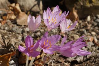 Colchicum autumnale, Herbstzeitlose, Naked lady