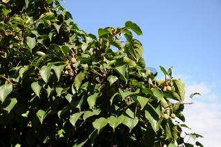 Actinidia arguta, Strahlengriffel, Hardy kiwi