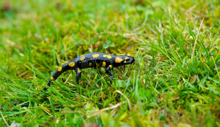 fire salamander in the grass