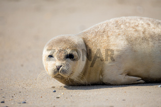 Young Harbor Seal baby
