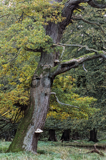 Stieleiche ist ein 20-40m hoher Baum und erreicht einen Stammdurchmesser von ueber 4 Metern - (Sommereiche - Deutsche Eiche) / English Oak a tree named Majesty Oak with a circumference of 12