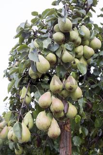 Many green pears on a tree