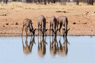 drinking Kudu antelope