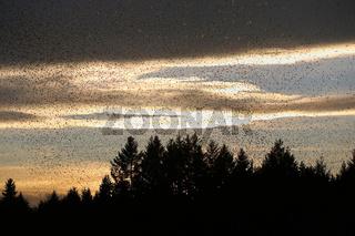 Bergfinken wie fliegende Edelsteine bei Sonnenuntergang