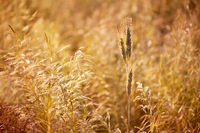 Golden cereal plant photo