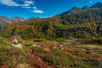 Beautiful coloured autumn scene in the italian Alps near Timmelsjoch crossing with yellow larches and red coloured plants