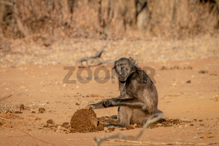 Chacma baboon and sitting and eating.