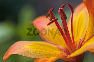 fresh orange lily blossom with red stamps close up