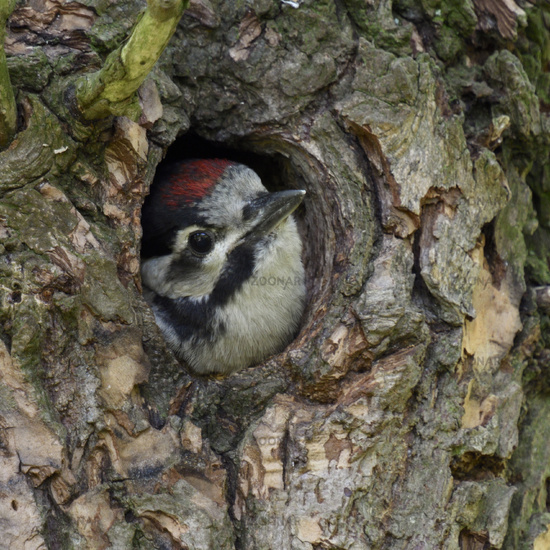 Great Spotted Woodpecker * Dendrocopos major * cute chick, watching out of nest hole