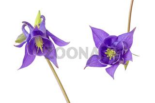 Zwei blaue Akeleien (aquilegia vulgaris), freigestellt