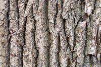 cracked bark on old trunk of oak tree close up