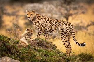 Cheetah standing and cub lying on mound