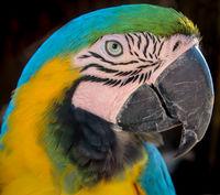 details, portrait, view of a macaw, papagai