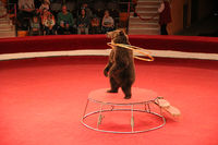 Trained bear twisting hoops in circus arena. Bear cheering audience in circus