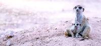 Meerkats, Kgalagadi Transfrontier National Park, South Africa, (Suricata suricatta)