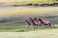 equus kiang in three river source region