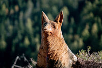 Wood carving of a fox made out of a tree trunk still in its place in a forest near Voels am Schlern in Italy