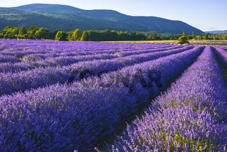 Lavendelfeld im Licht der untergehenden Sonne bei Sault