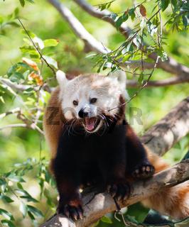 Red Panda Rests on Branch in between feedings