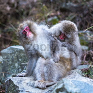 Snow monkeys or Japanese Macaques in hot spring onsen