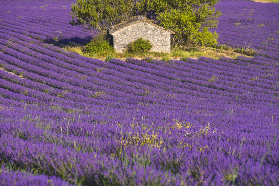stone hut surrounded by lavender field near Sault