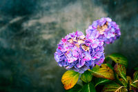 Hydrangea flower on grungy background