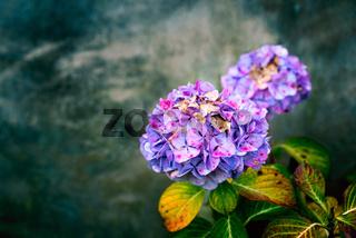 Hydrangea flower on grungy background