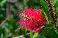 Bright red pohutukawa flower