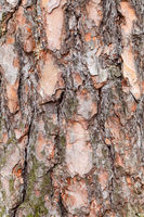 rough bark on old trunk of pine tree close up