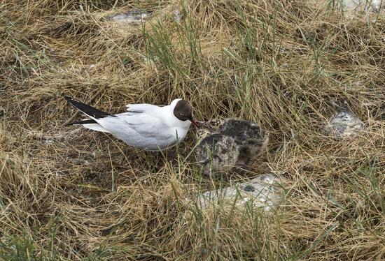Black-headed gull (Chroicocephalus ridibundus) feeding its chicks,Schleswig-Holstein, Germany