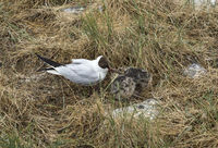 Black-headed gull (Chroicocephalus ridibundus) feeding its chicks,Schleswig-Holstein, Germany