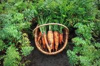 Harvesting carrots. Fresh carrots lying on ground.