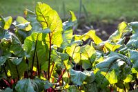 Beet leaves in the rays of the setting sun on the garden