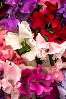 sweet pea Mixed Spencer (Lathyrus oderatus)