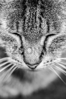 Close-up portrait of tabby cat. Black and white. Closed eyes. Sleepy cat. Idea for wallpaper.