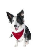 Border Collie  Dog in Holiday Christmas Attire isolated on white