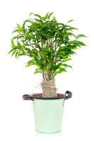 Green ficus tree in a flowerpot