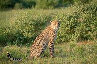Gepard sitzt im Busch und beobachtet die Umgebung
