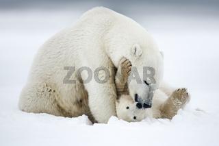 Polar bear, northern arctic predator