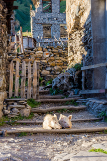 Pigs in the yard, Svaneti