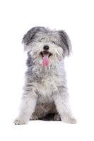 Hungarian Pumi or Hungarian herding terrier