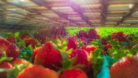 Ripe, freshly harvested strawberries in crates and boxes ready to be shipped