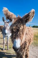Famous donkeys on Ile de Re