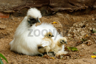 Mom and her baby Chicks sitting together