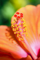 Macro photos of orange hibiscus flower