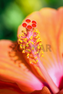 Macro photos of orange hibiscus flower