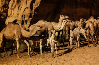 Portrait of drinking camels in canyon aka guelta Bashikele ,East Ennedi, Chad